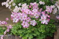 Oxalis-Кислица brasiliensis Pink-White