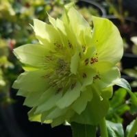 Helleborus orientalis Double Green spotted - Морозник восточный Double Green spotted