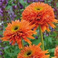 Echinacea Colorburst Orange-эхинацея Colorburst Orange
